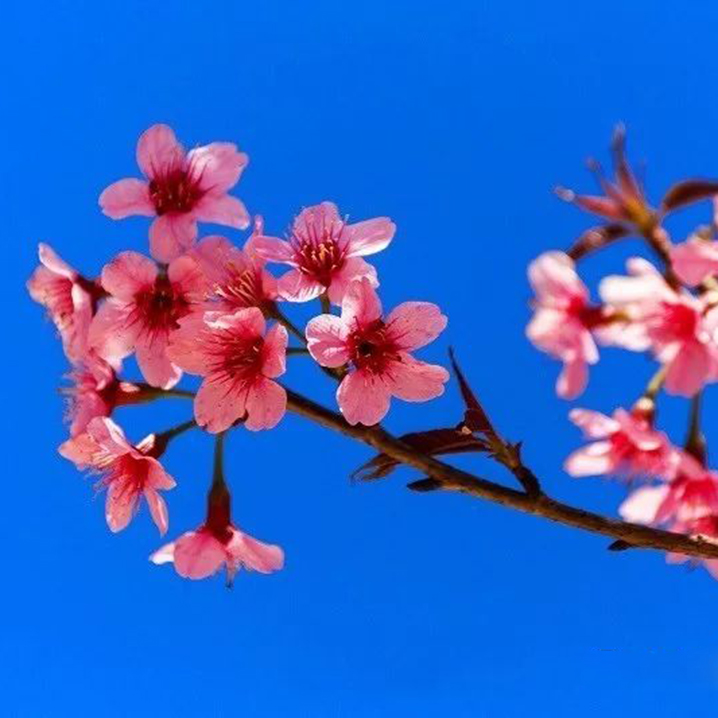 清迈樱花正在坤昌阡等你,最关心的路况我们已帮你探明了